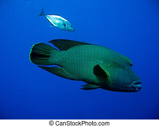 Napoleonfish & Blue-fin Trevally