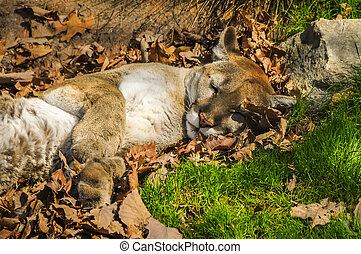 Napping Mountain Lion