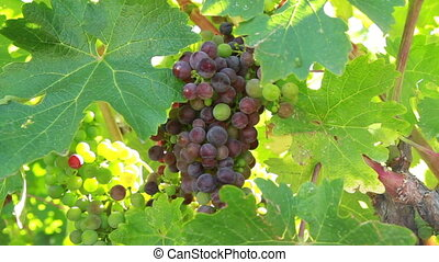 Wine grapes shot two - Nappy Valley California Wine grapes...