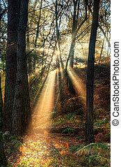 napsugarak, át, ködös, ködös, ősz erdő, táj, -ban, hajnalodik