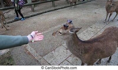 Nara deer Japan - Wild deer in Nara, Japan. Deer are the...
