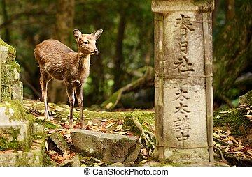 Nara deer roam free in Nara Park, Japan.