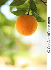 narancs, gyümölcs fa, érett