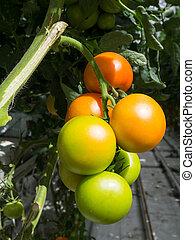 narancs, zöld, paradicsom