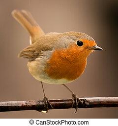 naranja, bastante, pájaro, rojo, agradable, plumaje