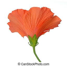 naranja color, flor, hibisco