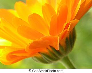 naranja, gerbera
