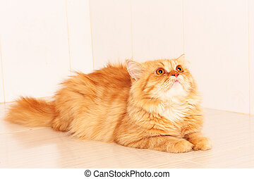 naranja, lindo, gato, persa