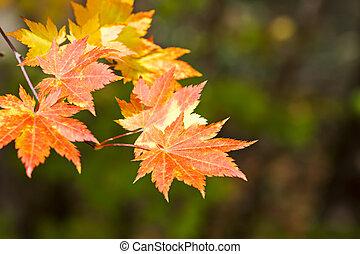 naranja llena de color, y, dorado, permisos de arce, en, fondo verde