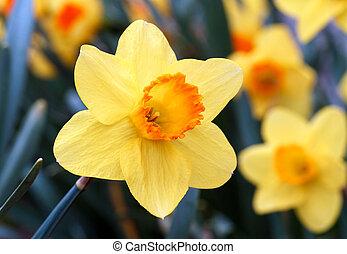 naranja, narciso amarillo