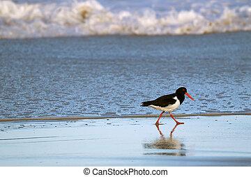 naranja, ostrero, cuentas, australia, tasmania, largo, ambulante, pied, negro, arenoso, playa blanca, pájaro, rojo