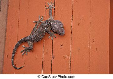 naranja, pared, gecko, color