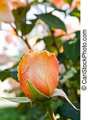 naranja, reina, capullo de rosa, elizabeth