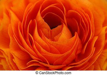 naranja, renuncula, primer plano