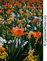 naranja, tulipanes