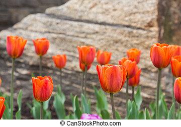 naranja, tulipanes, en, el, primavera