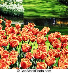 naranja, tulipanes, en, jardín, parque