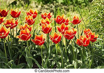 naranja, tulipanes, en, primavera, jardín