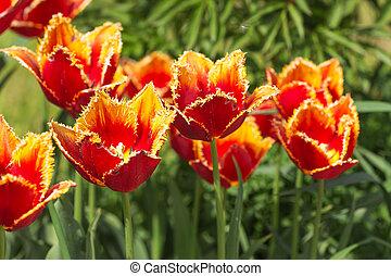 naranja, tulipanes, en, primavera