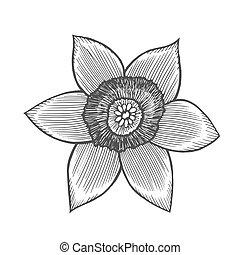 Narcis flower illustration, line pattern. Vector artwork....