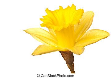 narciso, aislado, amarillo