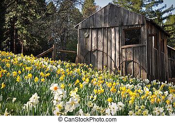 narciso, cabana, atração turística, primavera, califórnia, colina
