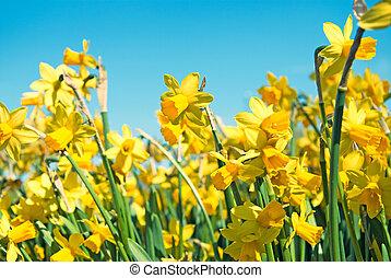narciso, fiori
