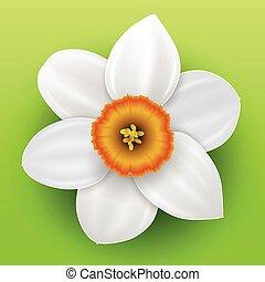 narciso, flor, Ilustración