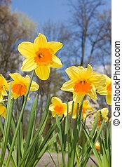 narciso, flores, em, primavera