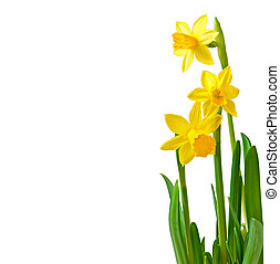 narcisse, fleur source