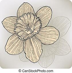 narcisse, hand-drawing., vecteur, fleur, illustration.