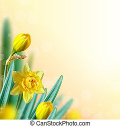 Narcissus background. - Beautiful narcissus flowers with...