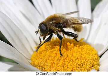 Narcissus Bulb Fly on a Daisy