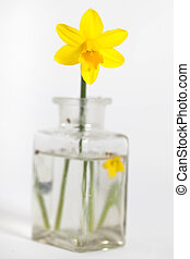 Narcissus , daffodil in a glass bottle