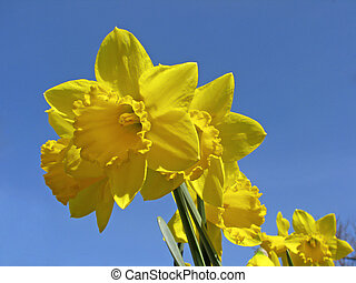 Narcissus, Daffodil, Lent lily
