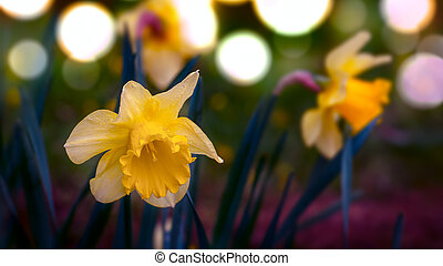 Narcissus daffodils at spring time
