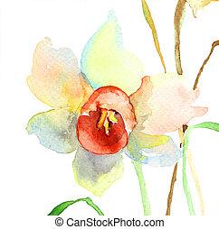 narcissus, flores