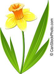 Narcissus flower over white. EPS 8, AI, JPEG