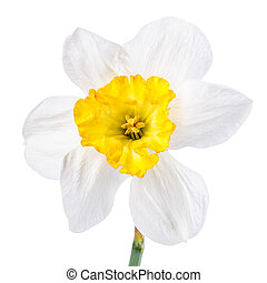 narcissus flower isolated on white background clipping path