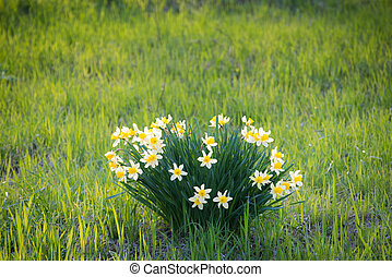 Narcissus flowers. Daffodil flowers on green grass