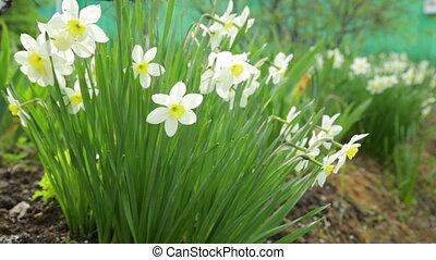 Narcissus flowers growing in garden