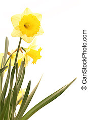 narcissus flowers isolated on white background