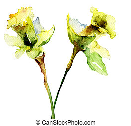 Narcissus flowers - Watercolor illustration of Narcissus...