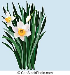 Narcissus flowers with leaves and bud