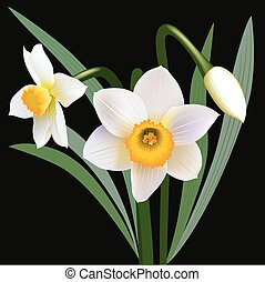 Narcissus flowers with leaves