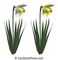 Illustration of white and yellow narcissus. Isolated white background.
