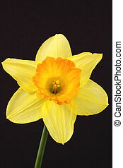 Narcissus in bloom on a black background