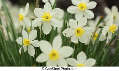 Narcissus in closeup