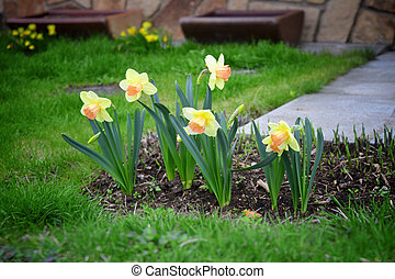 Narcissus in garden. Daffodils.
