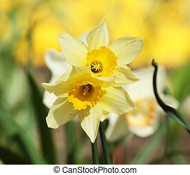 Narcissus in the flower-bed
